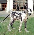 ขาย ลูกสุนัขเกรทเดนสายเลือดแชมป์เปียนประเทศไทย
