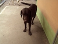 ขายลูกสุนัขลาบราดอร์เพศเมีย 2 ตัว 2 สี ค่ะ (ราชบุรี)