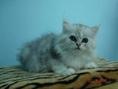 น้องแมวชินชิล่า CFA ใบเพ็ทอเมริกา สุขภาพแข็งแรง