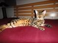 Beautiful Bengal Female Cat For Sale