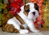 รูปย่อ Male and Female English Bulldog Puppies  รูปที่1