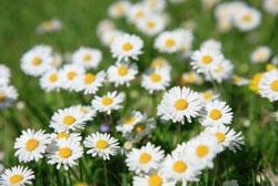 รูปภาพ ดอกไพรีทรัม ดอกไม้ฆ่าแมลง