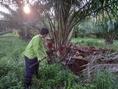 ขายสวนปาล์มให้ผลผลิตแล้ว 120 ไร่เขตเมืองเพชรบูรณ์ไร่ละ 1 แสน 3
